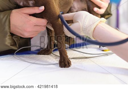 Veterinarian Shaves A Small Dog To Connect Electrodes For An Electrocardiogram Examination