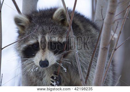 Cold Raccoon