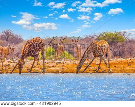 Two Giraffes Drinking Water From Waterhole. With Bent Long Neck And Outstretched Legs. Dry Savanna O
