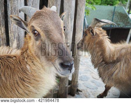 Himalayan Tar. Mammal Of The Family Of The Pole, The Genus Of Tara, Hemitragus Jemlahicus. Two Himal