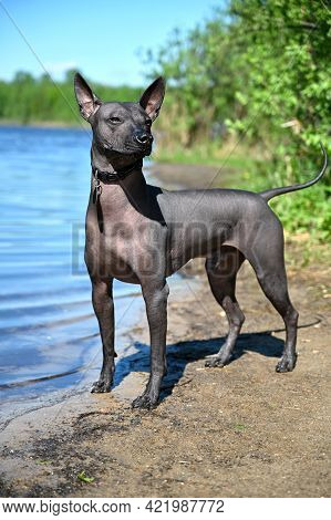 Xoloitzcuintle (mexican Hairless Dog) With Black Collar Portrait Standing On Sandy Beach Against Blu