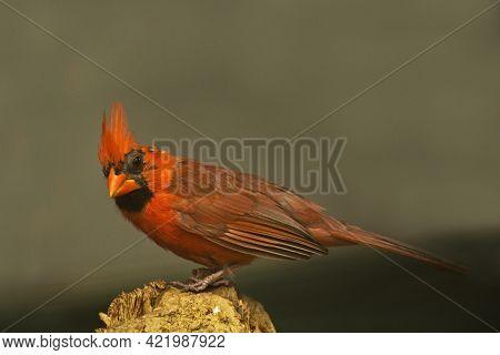 The Northern Cardinal (cardinalis Cardinalis) In Zoo.