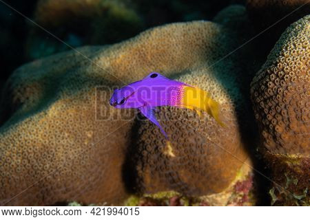 Fairy Basslet On Caribbean Coral Reef