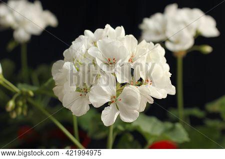 Large Flowers Of White Pelargonium. Geranium. Floriculture. Home Flowers.