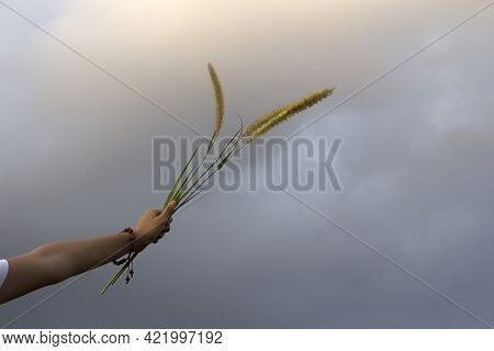 Arm Of Young Woman Raised Holding Grass Flower Plant In Hand Against Soft Blue Color Of Sunset Light