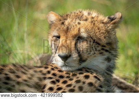 Close-up Of Sleepy Cheetah Cub Lying Down