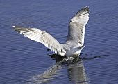 A large seagull crash landing in water with outstretched wings and reflection. poster