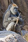 A captive adult gorilla is sitting on the rocky floor of its display. Holding a stick in one hand it is looking at the viewer with an expression of amusement on its face. poster