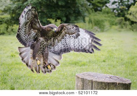 Captive Buzzard In Flight