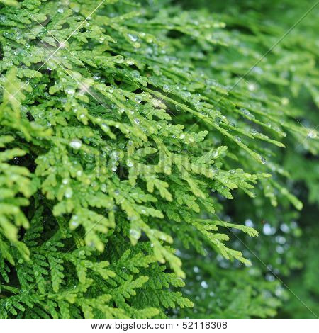 Texture Of Arborvitae Leaves In Shining Drops
