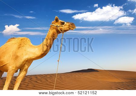 Camel and desert sand dunes panoramic landscape. Adventure travel tourism journey background