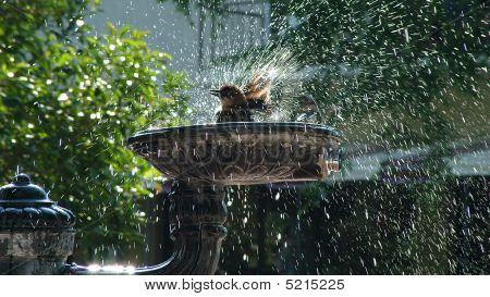 Bird shakes water off in human bird bath. poster
