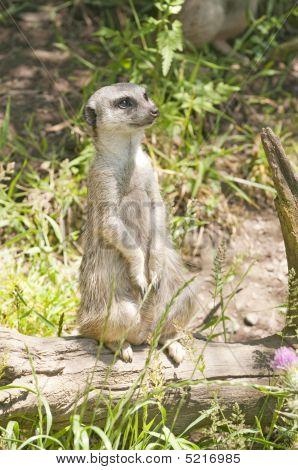 Meerkat Standing On Guard Watching For Danger