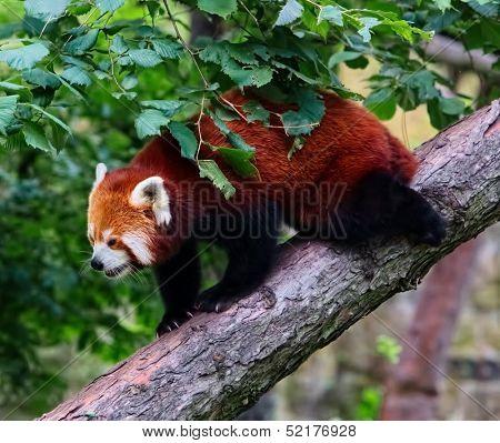 Red panda ( Ailurus fulgens) in wilderness