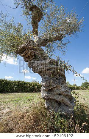 strange olive tree