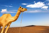Camel and desert sand dunes panoramic landscape. Adventure travel tourism journey background poster