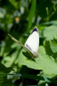 Small white butterfly (Pieris rapae) on leaf poster