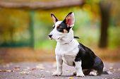 welsh corgi cardigan black puppy autumn portrait poster