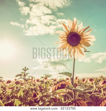 One sunflower rising above the rest