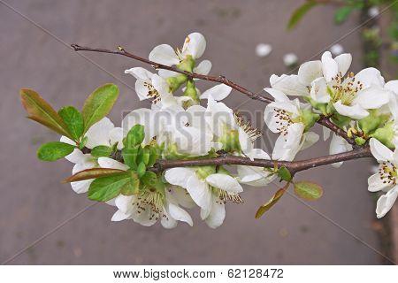 Malus Branch