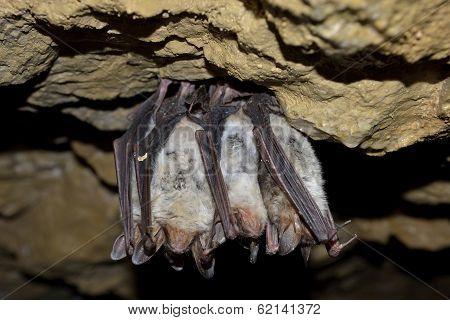 Groups of sleeping bats (Myotis blythii)
