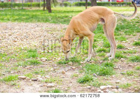 Greyhound Dog In Park Sniffing