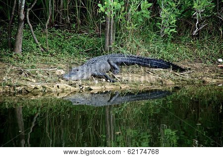 poster of A large Black Alligator is on the riverbank in the Everglades of Florida about to enter the water.
