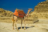 A row of camels transport tourists in front of all of the Giza Pyramids in Cairo, Egypt poster