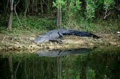 A large Black Alligator is on the riverbank in the Everglades of Florida about to enter the water. poster
