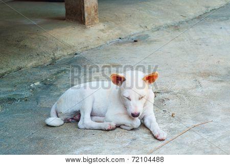 White Thai Dog Two Year Old Nodding In Parking.