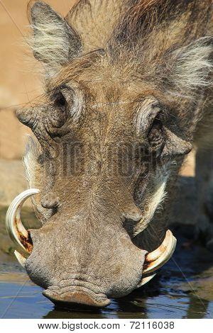 Warthog - African Wildlife Background - Drinking Life