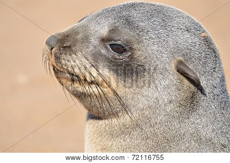 Cape Fur Seal pup at Cape Cross in Namibia poster