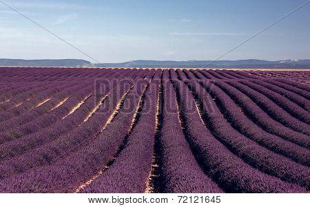 Lavender flowers blooming field