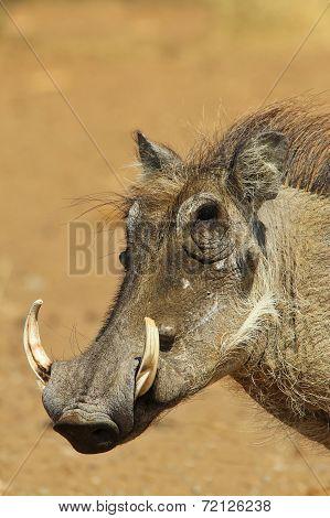 Warthog - African Wildlife Background - Tough Guy