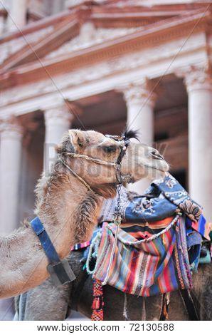 Camel In Al Khazneh - Treasury, Petra