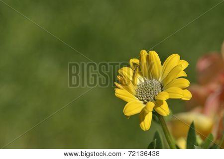 Yellow Osteospermum