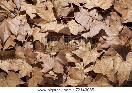 Dry Leaves With Sunlight