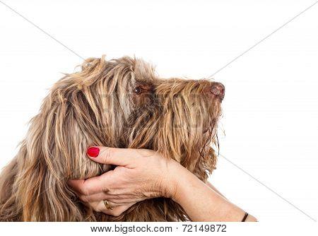 Portrait of a faithful dog on isolated white background poster
