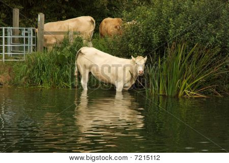 Cows Going For A Paddle