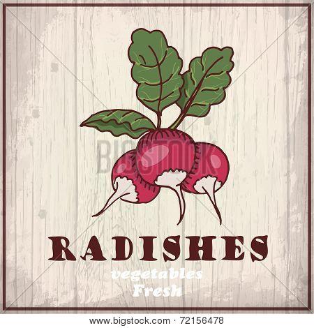 Fresh vegetables sketch background. Vintage hand drawing illustration of a radishes
