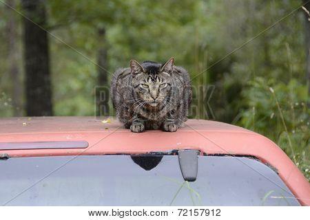 Cat Resting on a Truck Top in Missouri