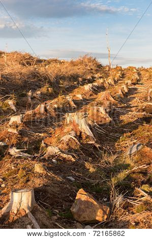 Row Of Cut Trees For Woodland Management