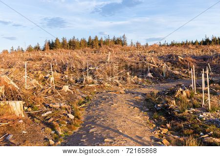 Chopped Down Pine Trees For Woodland Management