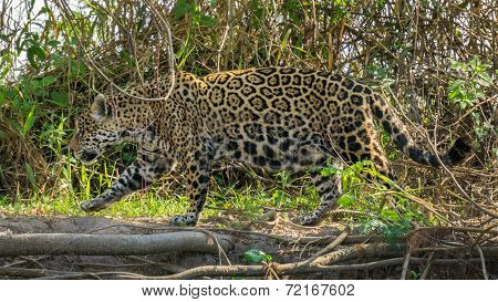 Side view of camouflaged Jaguar in Pantanal walking through the forest