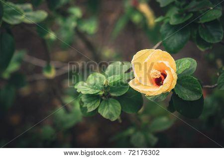 Shoe Flower Or Hibiscus Vintage