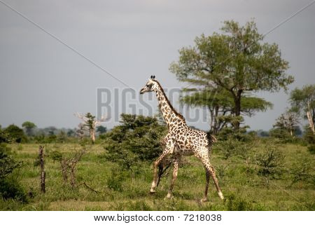 Masaai giraffe, Selous National Park, Tanzania