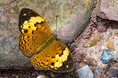 Close up of Rustic (Cupha erymanthis) butterfly puddling on the ground in nature poster
