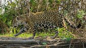 Side view of Jaguar walking near riverbank in the forest, Pantanal, Brazil poster