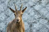 the horned mountain goat quietly looks forward before himself poster