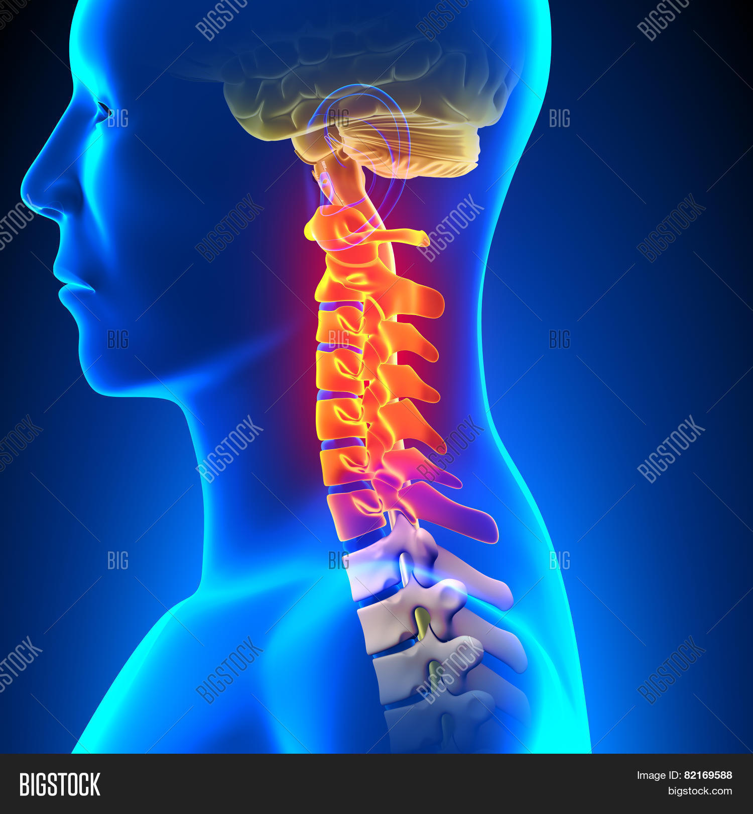 Cervical Spine Anatomy Image & Photo (Free Trial) | Bigstock